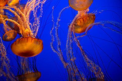 Aquarium Qualle - p1341m1190063 von Conny Hepting