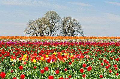 Field of tulips, Wooden Shoe Tulip Farm, Oregon, USA - p4428544f by Design Pics