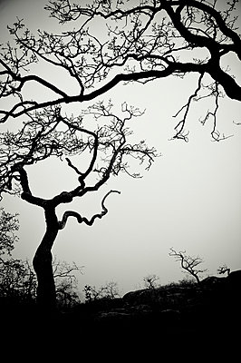 Low angle view of eerie tree silhouettes - p4429975 by Helene Cyr