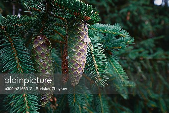 Bulgaria, Close-up of pine cones in Autumn - p300m2166312 by Borislav Zhuykov