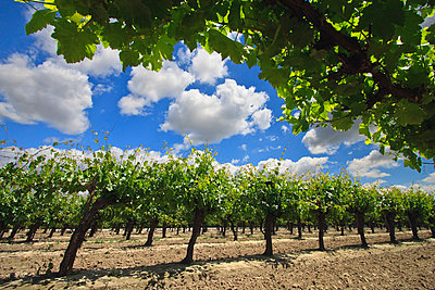 Agriculture - Low angle view of Spring foliage growth on a table grape vineyard with freshly disked middles / near Dinuba, California, USA. - p442m1006217 by Steve Goossen