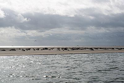 Seehundsbank bei Amrum - p451m1466920 von Anja Weber-Decker