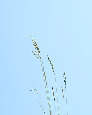 Blades of grass against blue sky - p1190m2289005 by Sarah Eick
