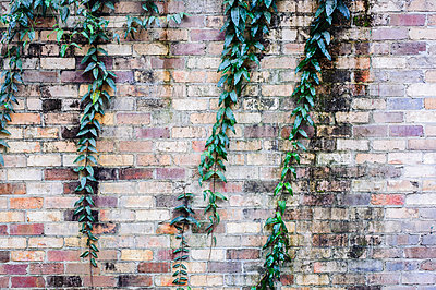 Creeper plant and brick wall - p1427m1553552 by WalkerPod Images