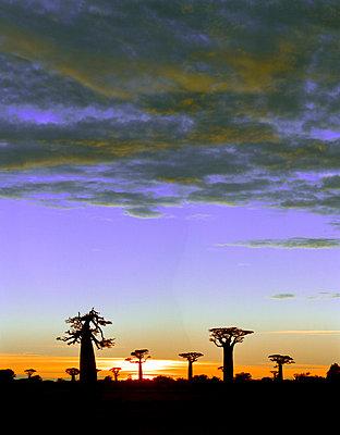 Baobabs auf Madagaskar - p1016m792563 von Jochen Knobloch