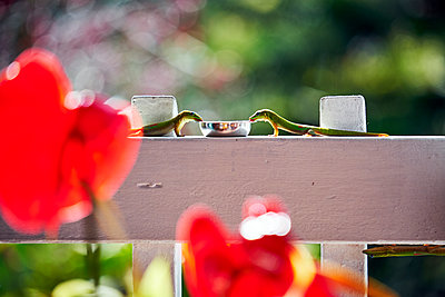 Gold Dust Geckos share a drink on a white fence of a restaurant - p1166m2147234 by Cavan Images