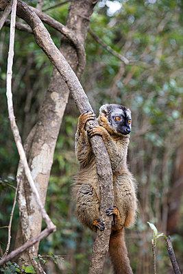 Lemur im Baum - p1272m1515596 von Steffen Scheyhing