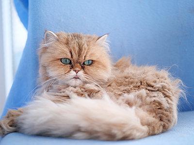 Cat, portrait - p299m2089989 by Silke Heyer