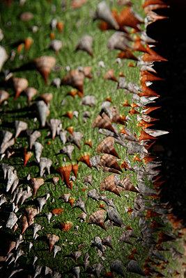 Chorisia Speciosa, close-up - p3003855f by Tanja Luther