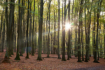 beech forest against the sun - p300m885210f by Wilfried Wirth