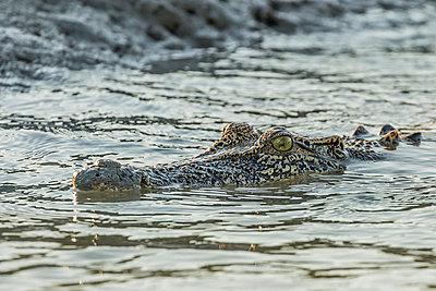 An adult wild saltwater crocodile (Crocodylus porosus) in the Hunter River in Mitchell River National Park, Kimberley, Western Australia, Australia, Pacific - p871m986910f by Michael Nolan
