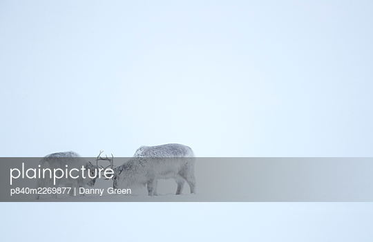 Reindeer (Rangifer tarandus), two play fighting in snow. Svalbard, Norway, April. - p840m2269877 by Danny Green