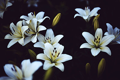 White lilium in bloom in sunset light. - p1166m2106367 by Cavan Images
