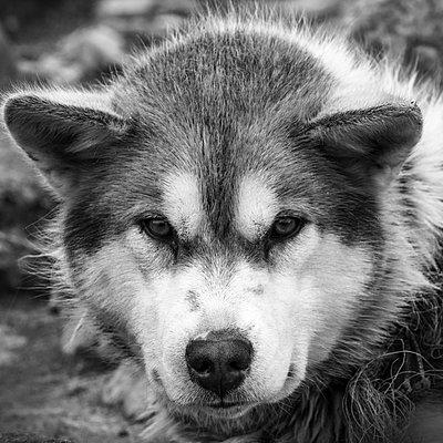 Schlittenhund - p1486m1564259 von LUXart