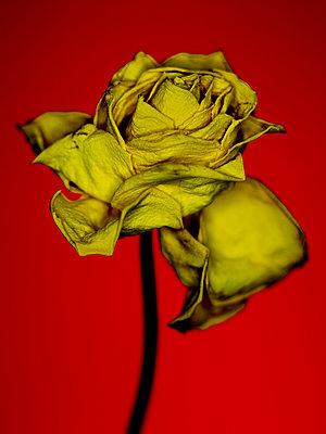 Gelbe Rose - p509m925456 von Reiner Ohms