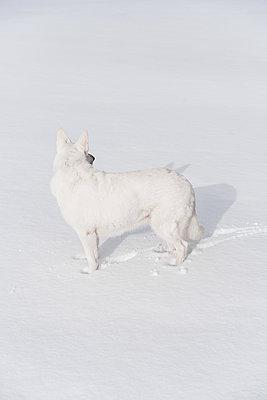 Weißer Schäferhund - p954m1214489 von Heidi Mayer