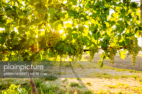 Grapes growing on vine in vineyard - p555m1415537 by Inti St Clair