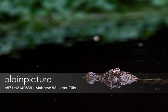Spectacled Caiman (Caiman Crocodilus), Tortuguero National Park, Limon Province, Costa Rica - p871m2149869 by Matthew Williams-Ellis