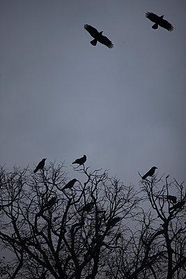 Crows - p1028m1502308 von Jean Marmeisse