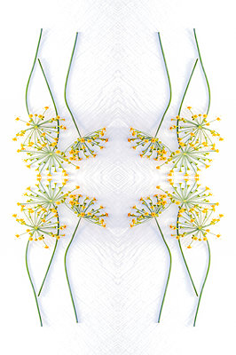 Abstract kaleidoscope pattern of fennel flowers on white textured background - p1047m2220270 by Sally Mundy