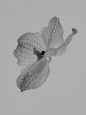 Orchid blossom  - p1270m1114511 by Cédric Porchez