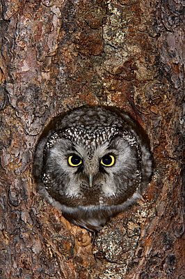 Boreal Owl  in nest cavity, Alaska - p884m1145320 by Michael Quinton