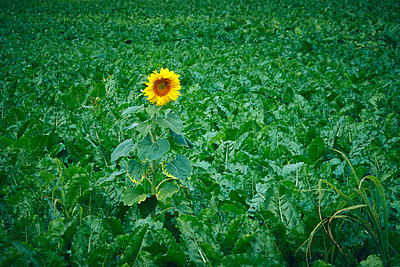 Single sunflower in a field - p851m2205828 by Lohfink
