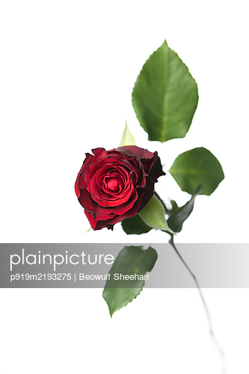Red Rose flower with green leaves in front of white background - p919m2193275 by Beowulf Sheehan