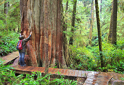 Female Hiker Reaching Up The Trunk Of An Old Growth Western Red Cedar Tree On The Rainforest Trail In Pacific Rim National Park; Vancouver Island British Columbia Canada - p442m839388 by Ken Gillespie