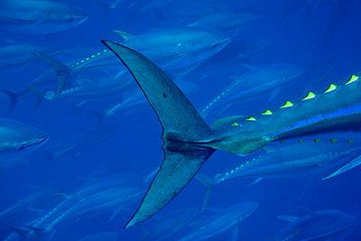 Atlantic Bluefin Tuna tail - p884m863158 by Richard Herrmann