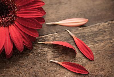 Chrysanthemum - p971m1220620 by Reilika Landen