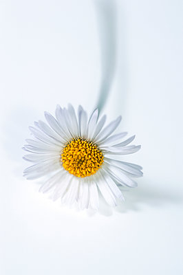 Close-up of erigeron dasiy flower on white background - p1047m2220272 by Sally Mundy