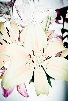 Lilies - p1149m1152291 by Yvonne Röder
