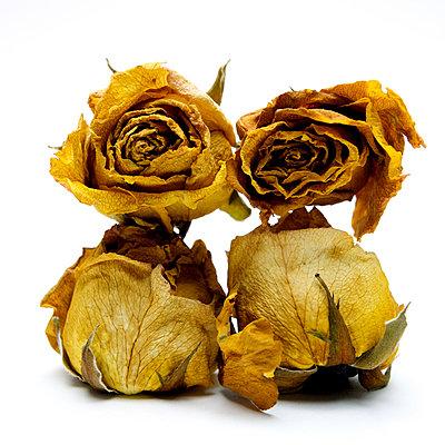 Wilted roses - p813m908612 by B.Jaubert