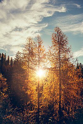 Yellow Larch trees on Autumn day - p968m1028404 by roberto pastrovicchio