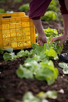 Hands picking lettuce - p6691052 by Julian Winslow