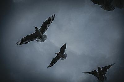 Seagulls in the dark sky - p858m2150489 by Lucja Romanowska