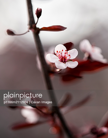 Close up of blossom on a flowering  sand cherry tree in the spring. - p1166m2112924 by Cavan Images