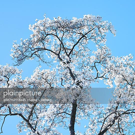 Magnolia - p587m2115445 by Spitta + Hellwig