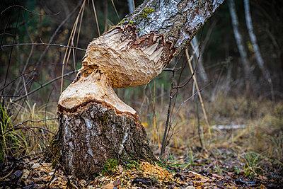 Germany, Beaver damage - p1275m2229437 by cgimanufaktur