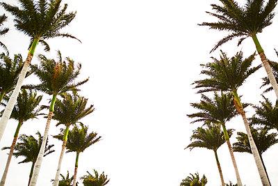 Palm Trees in Big Island, Hawaii, - p579m2015584 by Yabo
