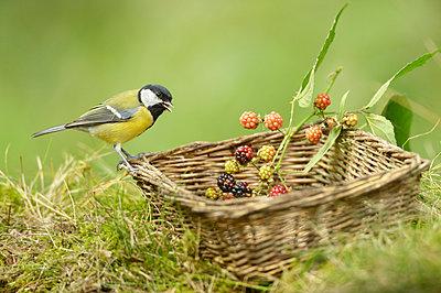 Great Tit on wicker basket with Bramble berries, Gelderland, Netherlands - p884m1136426 by Marianne Brouwer/ NIS