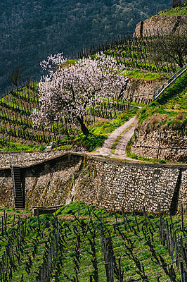 Cherry tree in a vineyard - p1088m937897 by Martin Benner