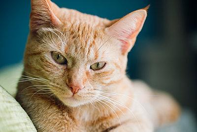 Portrait of tabby cat - p300m1120703f by Ramon Espelt