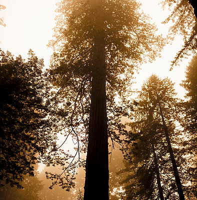 Sequoia - p552m1055587 by Leander Hopf