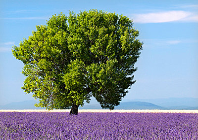 Tree in a lavender field, Valensole plateau, Provence, France - p6510983 by Nadia Isakova photography