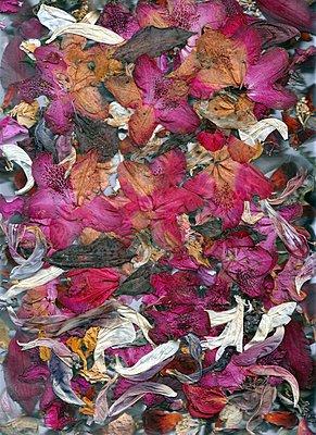 Dried petals - p1648m2228463 by KOLETZKI