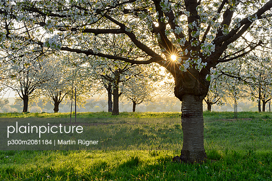 Germany, Black Forest, blossoming cherry trees in the morning - p300m2081184 by Martin Rügner