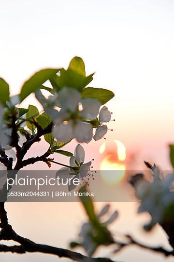 Kirschblüten im Sonnenuntergang - p533m2044331 von Böhm Monika