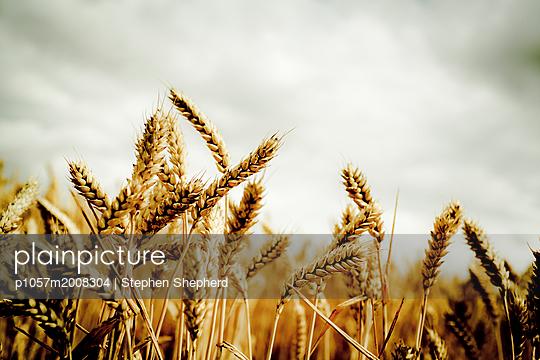 Close-up ears of grain - p1057m2008304 by Stephen Shepherd